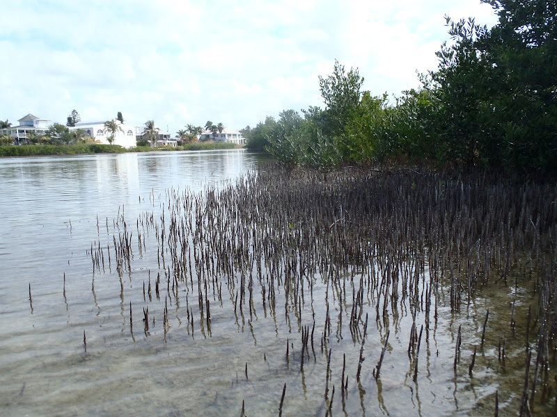 Black Mangroves. Image: Collier County Sea Grant