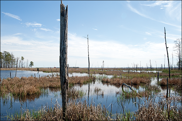 Trees killed by saltwater intrusion. Image: Daniel Strain (Maryland Sea Grant)