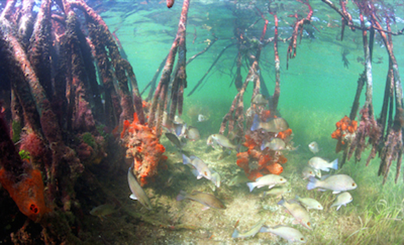 Fish swimming in mangrove roots. Image: NOAA