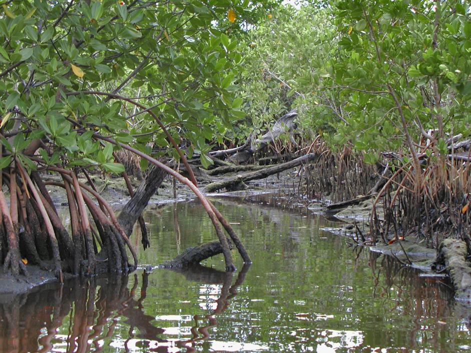 Red Mangroves. Image: NOAA Fisheries