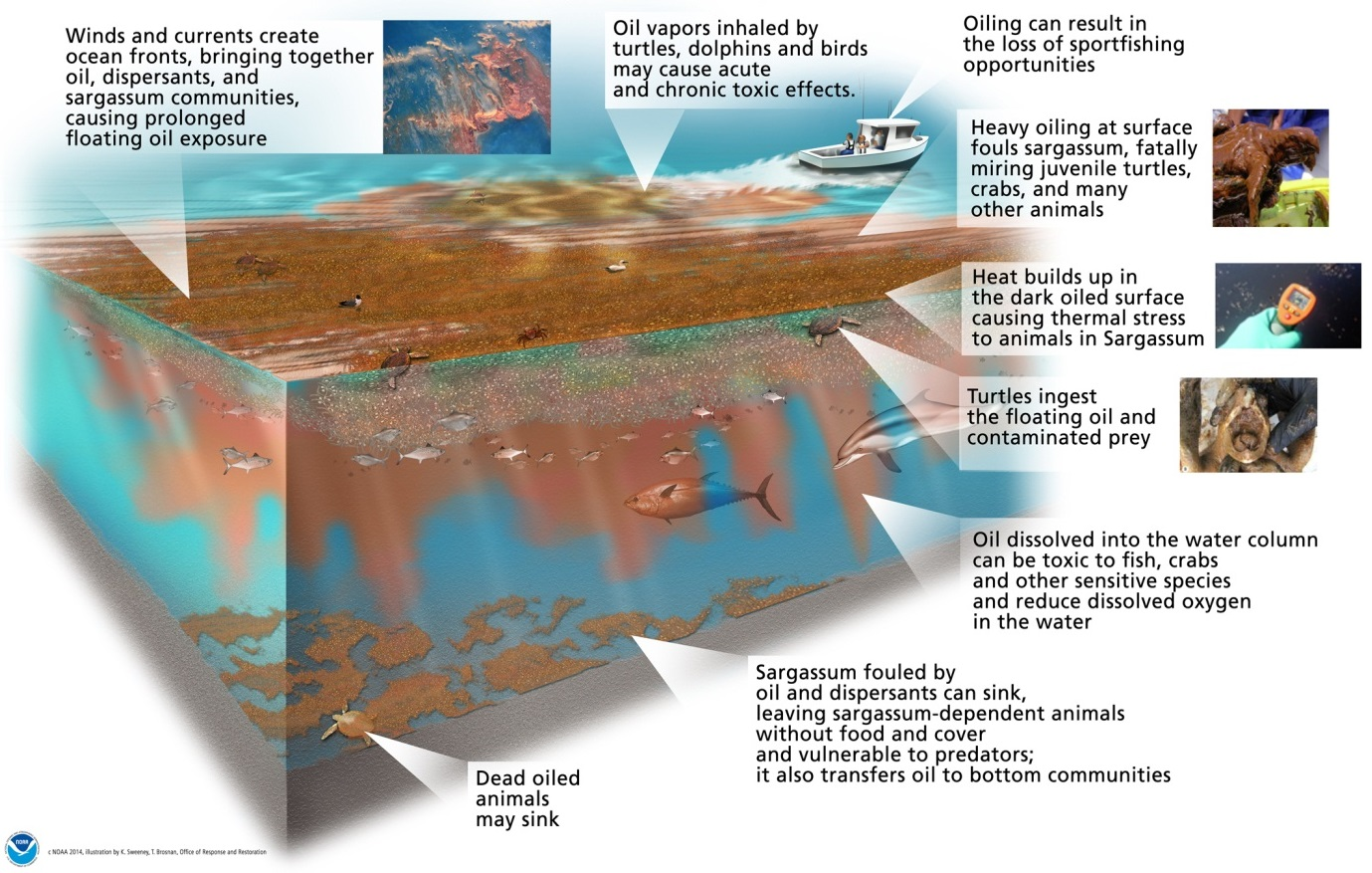 Illustration of the potential impacts of an oil spill on Sargassum and associated marine life in the water column. Image: NOAA Response and Restoration