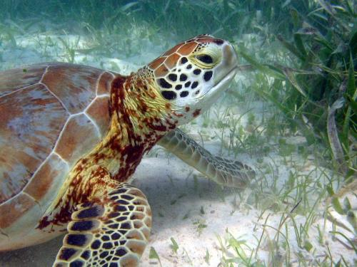 Turtle feeding on seagrass. Image: NOAA